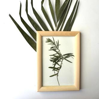 Гербарій польової рослини льнянка