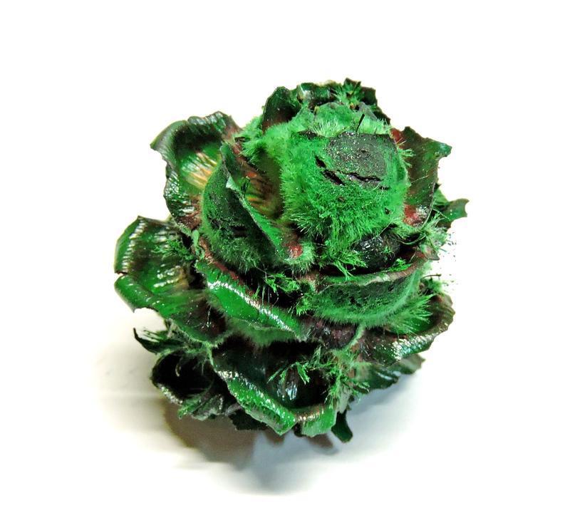 Сухоцвет Velvet Flover темно зеленый
